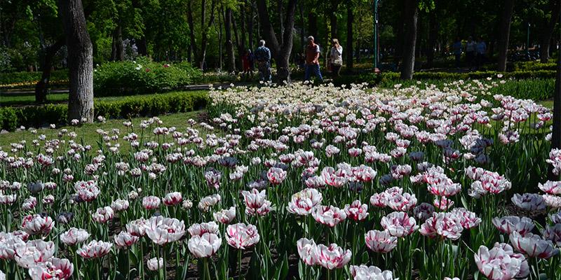 Дендропарк голландських тюльпанів у Кропивницькому